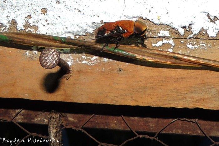 Pwayi (tsestse fly)