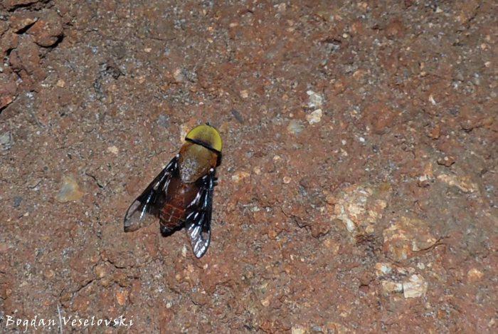 Pwayi (tsetse fly)