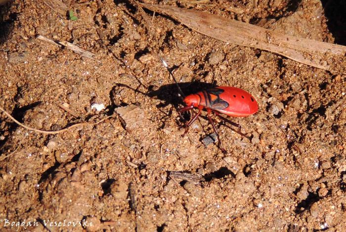 Pyrrhocoridae - red bug