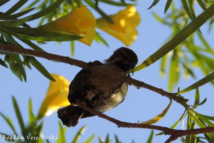 Songwe (sunbird)