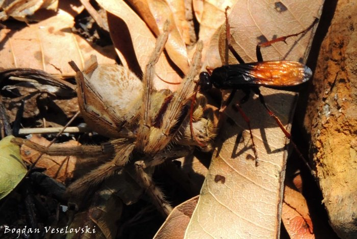 Spider wasp (tarantula hawk) paralyzing its prey