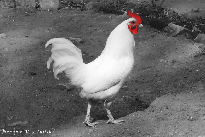 Tambala (rooster)