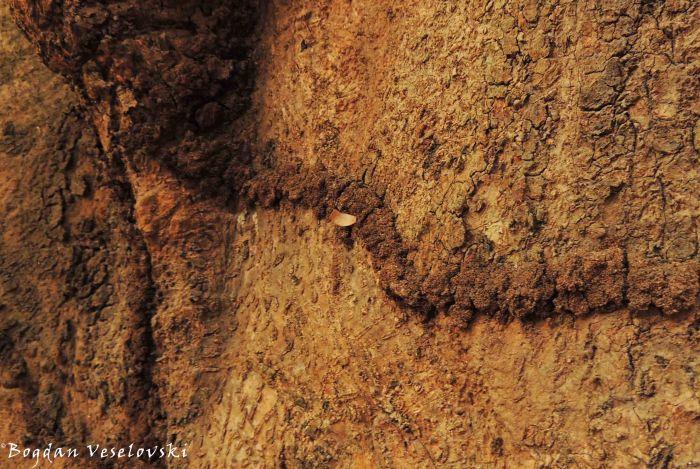 Termite 'road'
