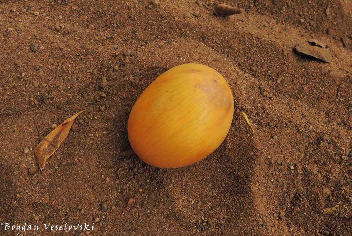 Thondo (wild mango)