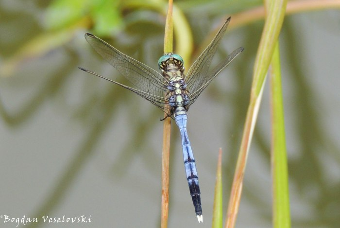Tombolombo (dragonfly)
