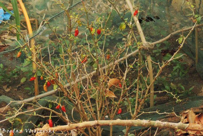 Tsabola wowawa kwambiri (chillies)