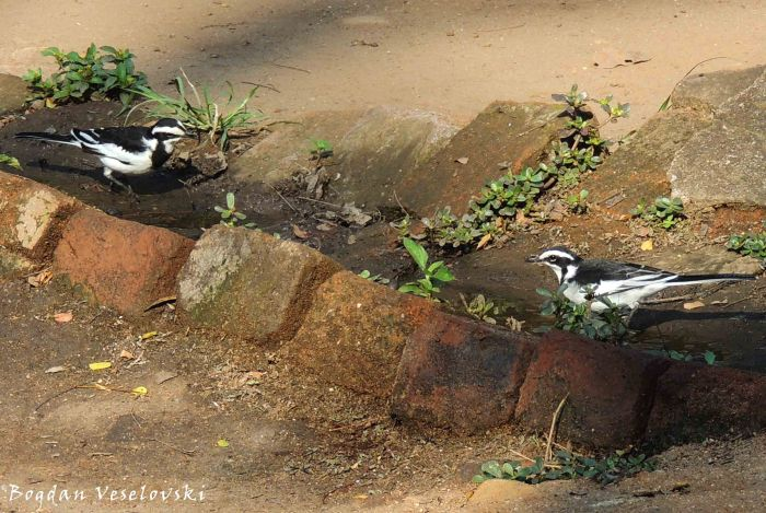 Unyeme (African Pied Wagtail. Motacilla aguimp)