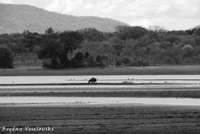 Hippo in Vwaza Marsh Wildlife Reserve