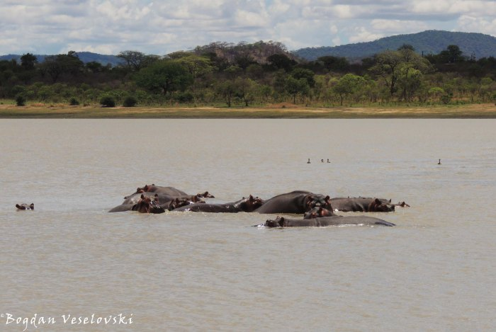 Hippos in Vwaza Marsh Wildlife Reserve