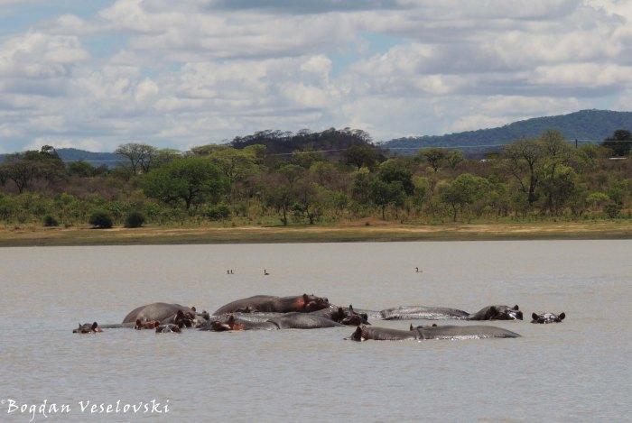 Hippos in Vwaza Marsh Wildlife Reserve