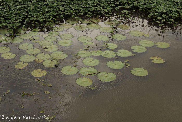 Anamasupuni (water hyacinths)