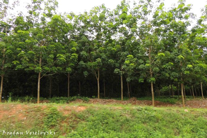 Athombozi (rubber trees)