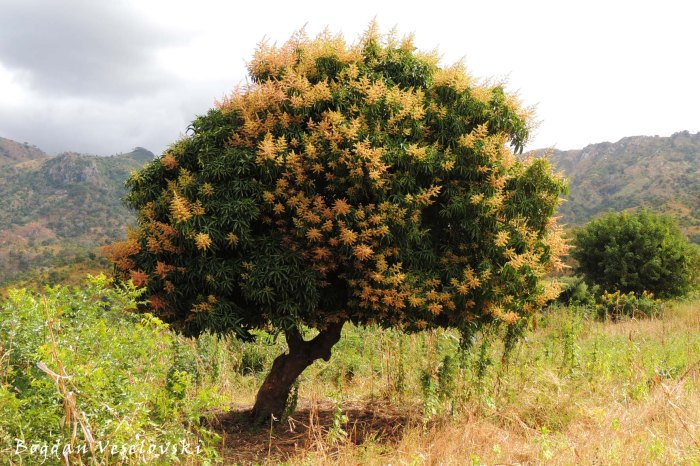Blossomed mango tree
