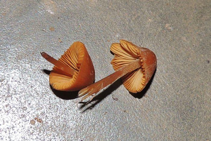 Bowa (mushrooms)