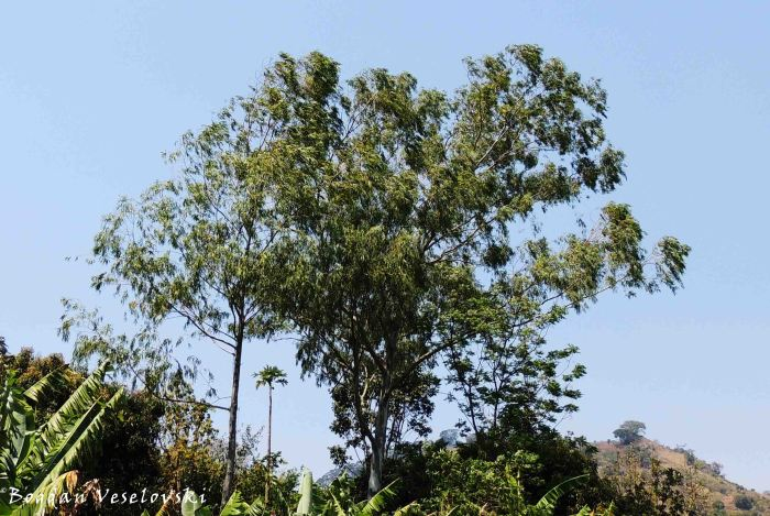 Bulugama (eucalyptus)