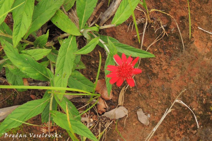 flower in Mulanje