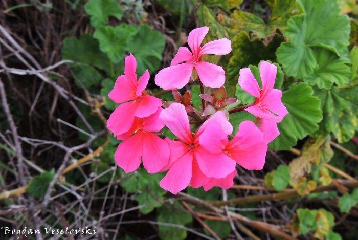 flowers in Zomba