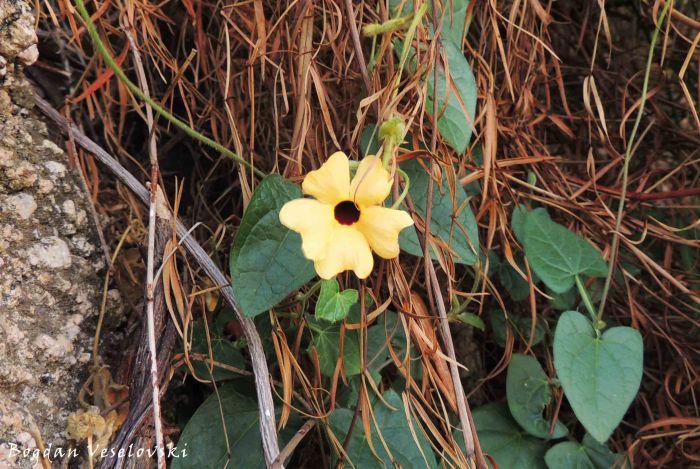 flower in Dedza