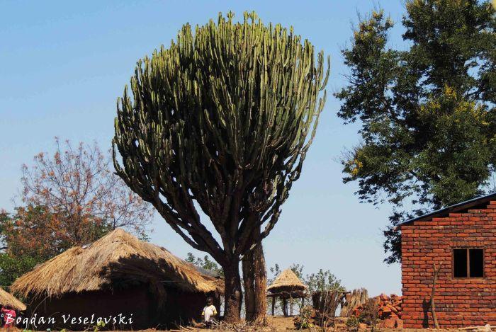 Kaloga (cactus)