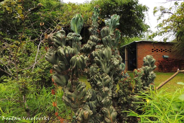 Kaloga (cactus in Cape Maclear)