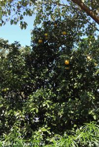 Manyumwa (grapefruit tree)
