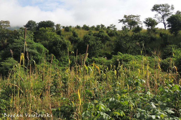 Mchewere (pearl millet / bulrush millet)