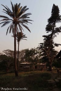 Mgwalangwa (doum palm tree. hyphaene thebaica)