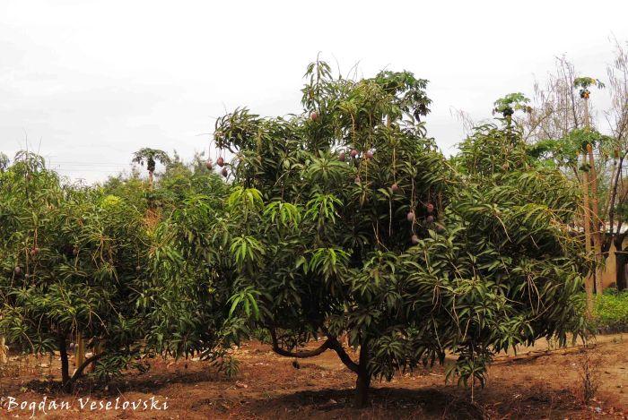 Mitengo ia mango (mango trees - mangifera indica) (2)
