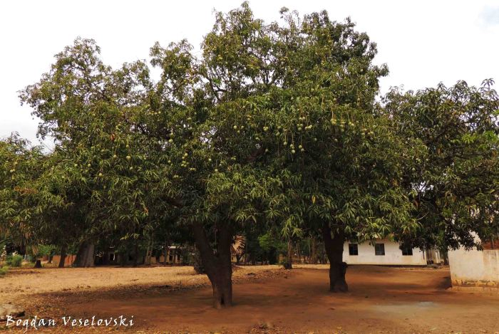 Mitengo ia mango (Mango trees - Mangifera indica)
