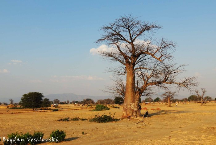 Mlambe (Baobab - Adansonia digitata)