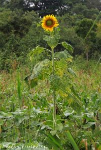 Mpendadzuwa (sunflower in Mulanje)