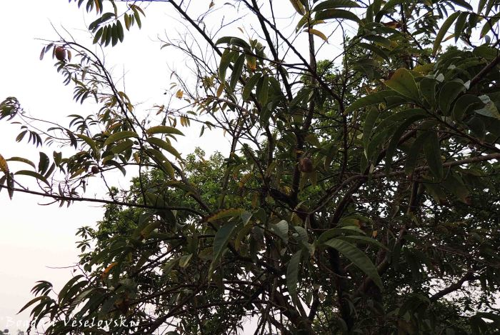 Mpoza (custard apple tree)