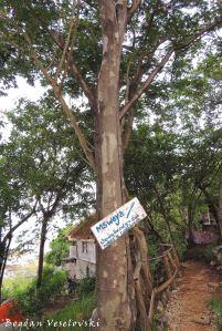Mswaya (natal mahogany)