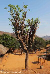 Mtengo wa chinangwa (Cassava tree)