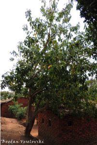 Mtengo wa masuku (wild loquat tree)
