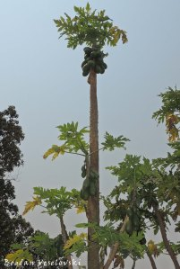 Mtengo wa mpapaya (Pawpaw tree - Carica papaya)