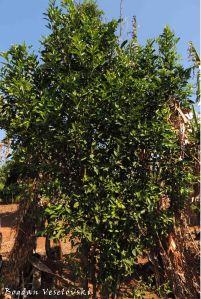 Mtengo wa nachesi (tangerine tree)