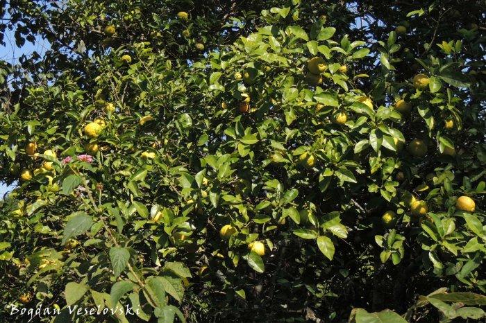 Mtengo wa ndimu (lemon tree)