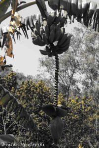 Mtengo wa nthochi (Banana tree) (2)
