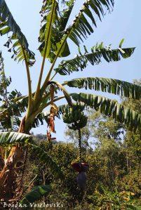 Mtengo wa nthochi (Banana tree)
