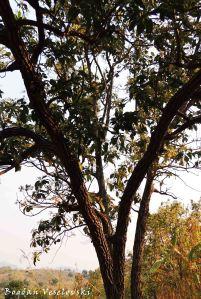 Mtengo wa Peyala (Avocado tree)