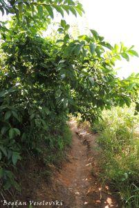 Mtengo wagwafa (guava tree)