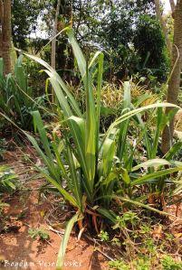 Nzimbe (sugarcane)