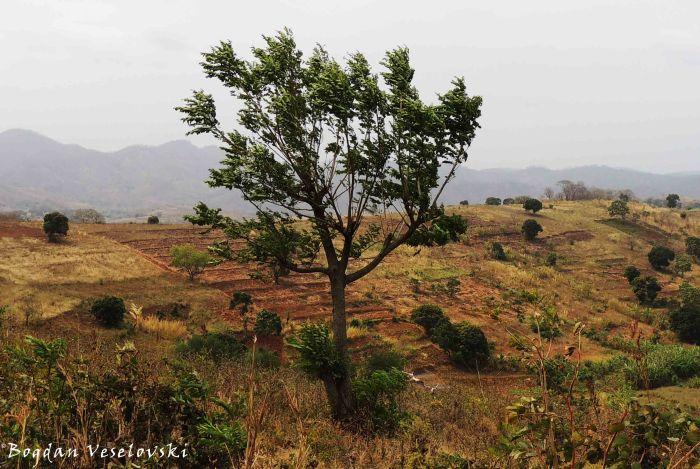 Sederela (Toon tree - Toona ciliata)