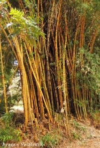 Sungwi (bamboo in Satemwa)