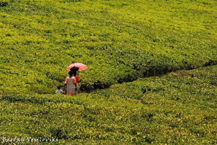 Walking through tea