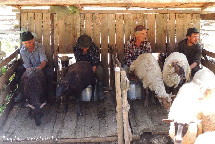 Manual milking