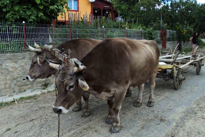 Oxen cart