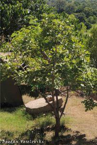 Fudwe tree
