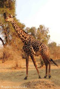 Male Thornicroft's giraffe (Rhodesian giraffe)